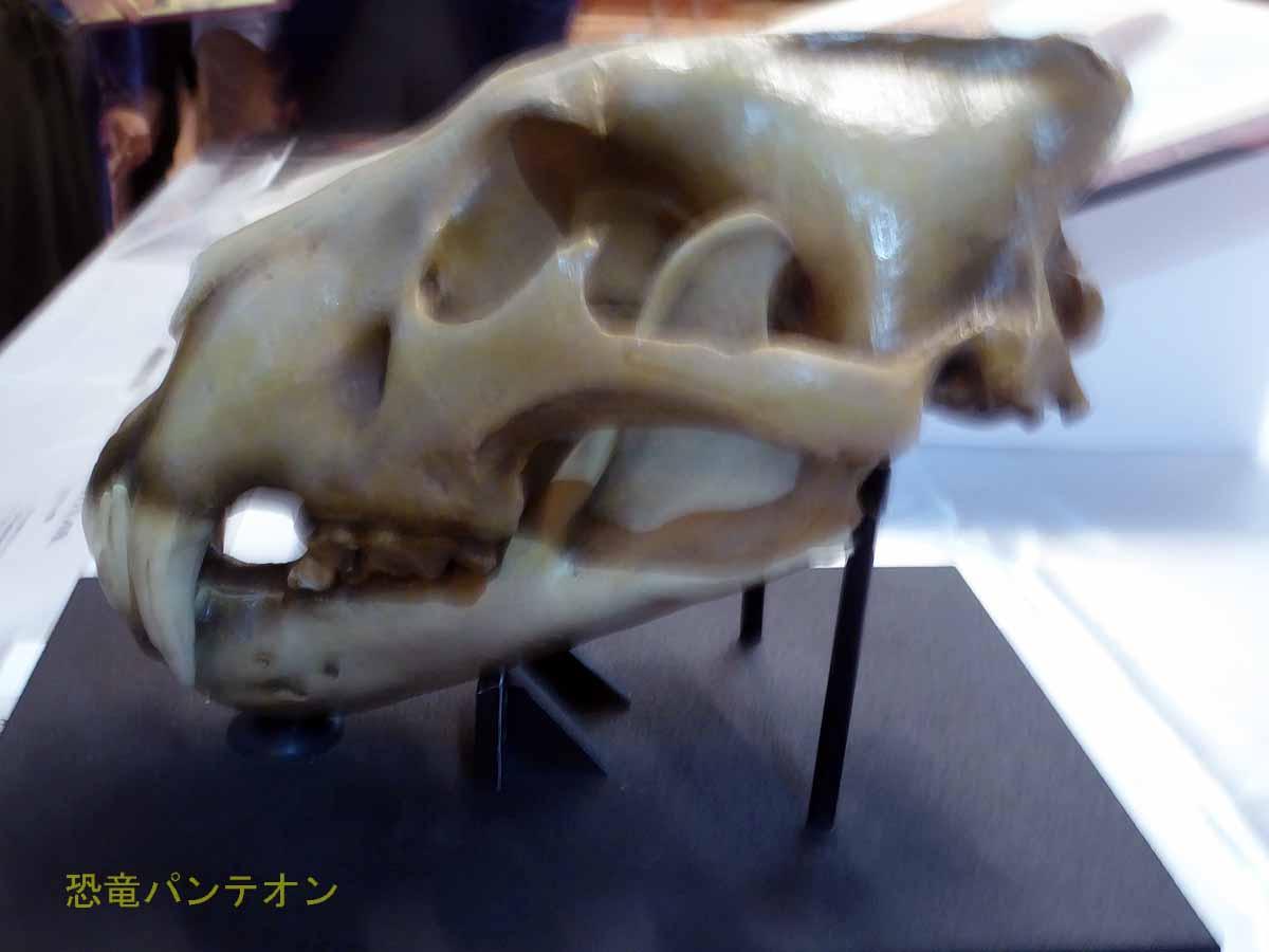 500年前のロンドン塔に住んでいたライオン頭骨 3Dプリンタによるレプリカ