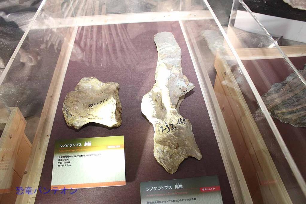 シノケラトプス胴椎と尾椎