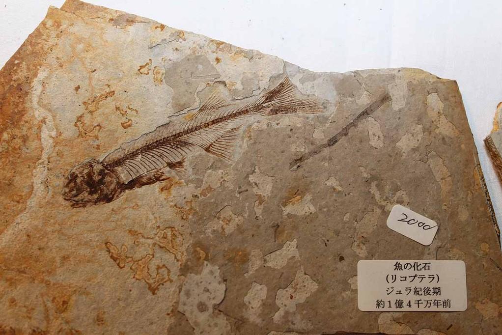 周益雅石社 背骨のあるのものです。リコプテラ 約1億4千万年前。ほかに伺った話では、公になれば世界がアッと驚くような標本も中国に保管しているとか・・・