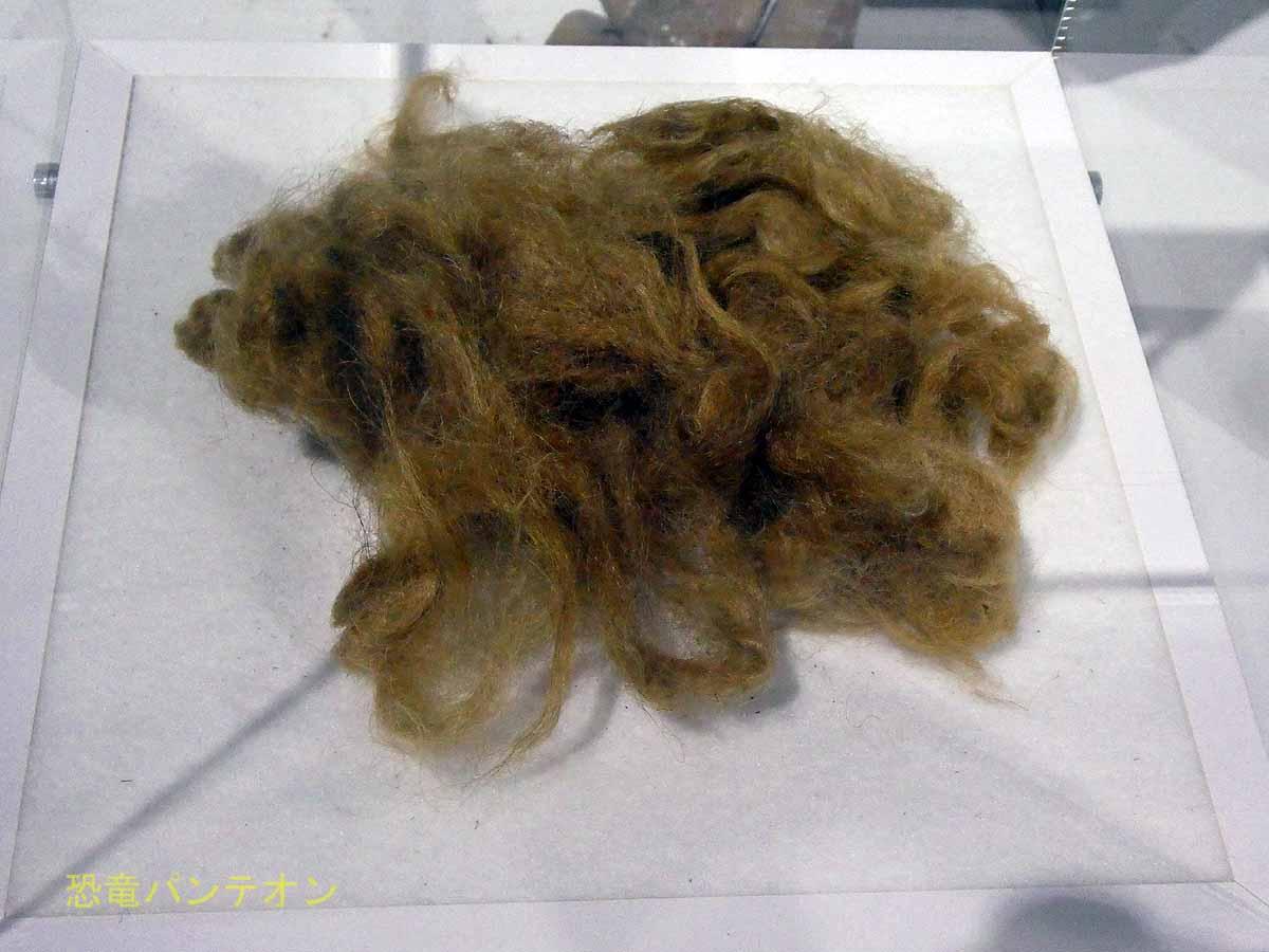 さわれるマンモスの毛。案外かたい感じです。