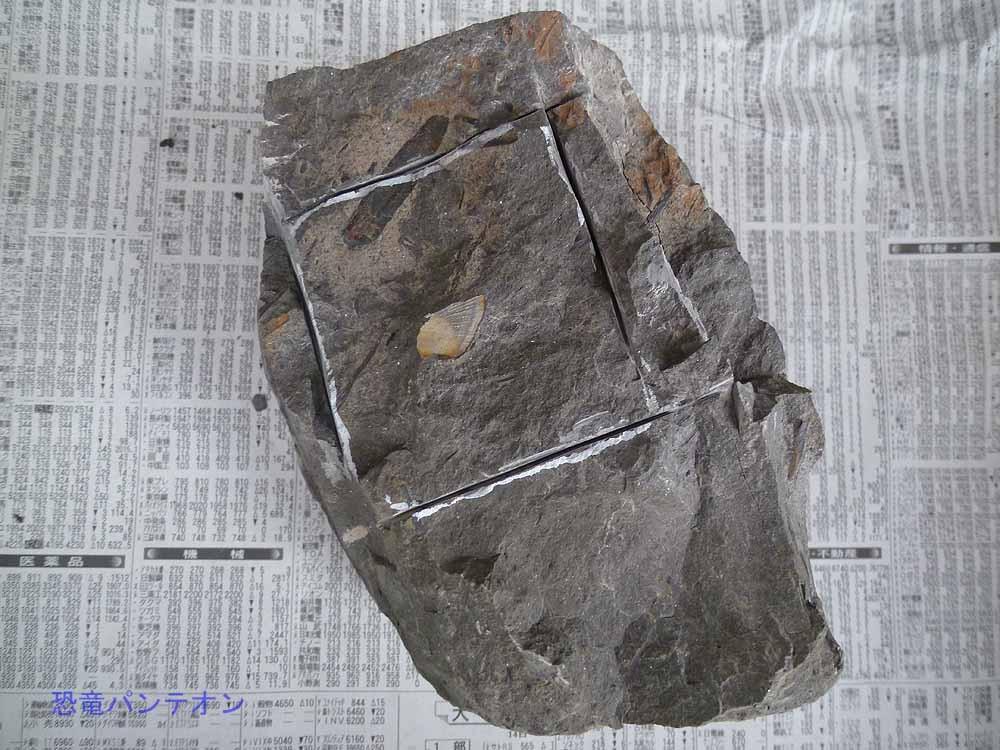 今日の成果、カメ石。サカナの骨の印象だそうです。