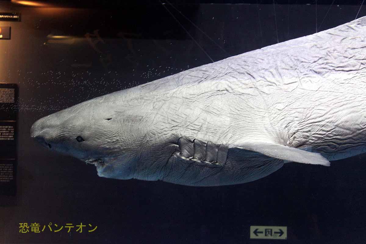 オンデンザメ液浸標本