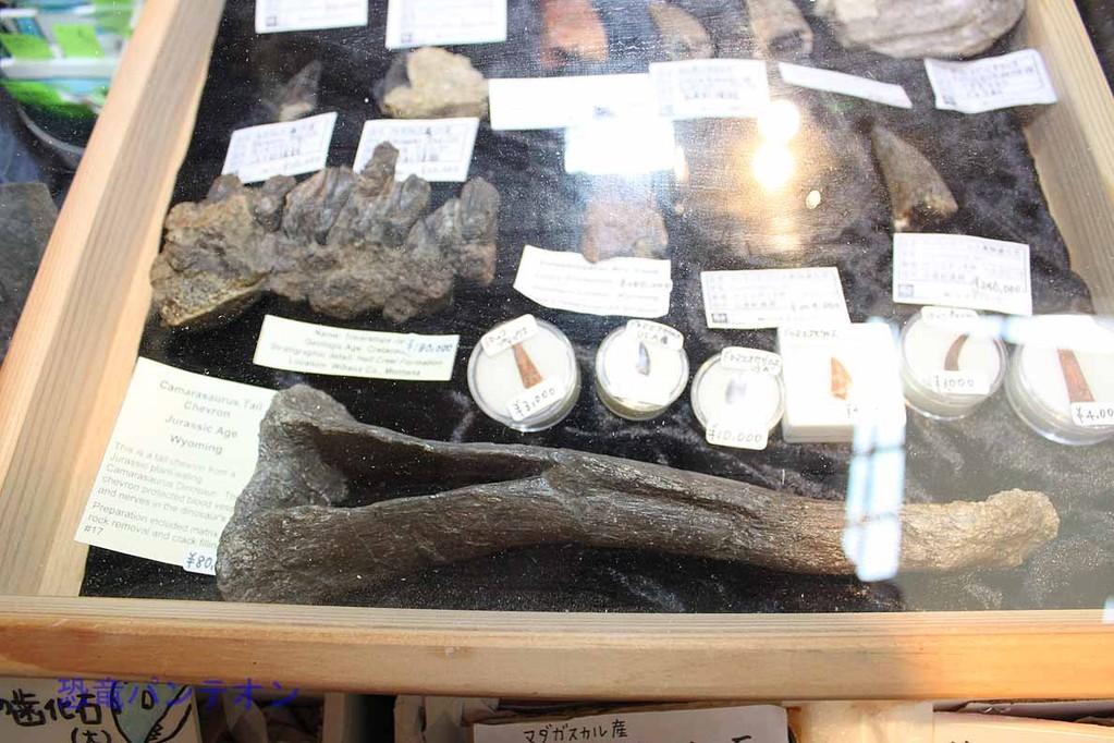 パレオサイエンス カマラサウルスの血道弓8万円 もっといい写真も出します
