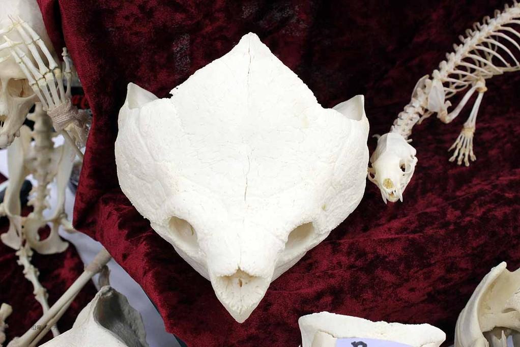 ワニガメの頭骨