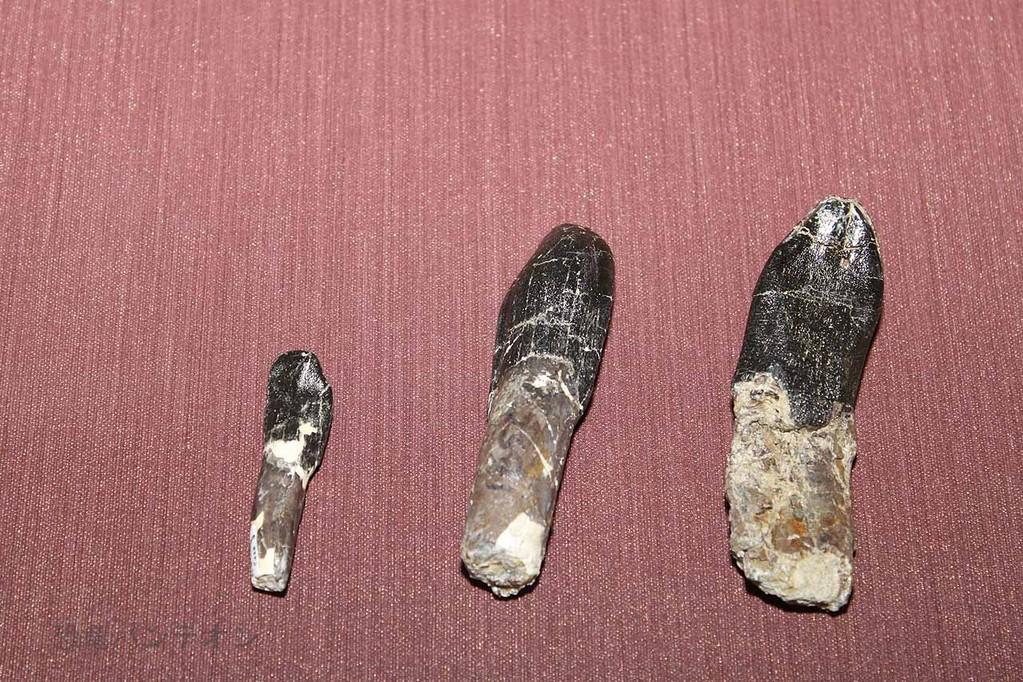 カマラサウルス類の歯