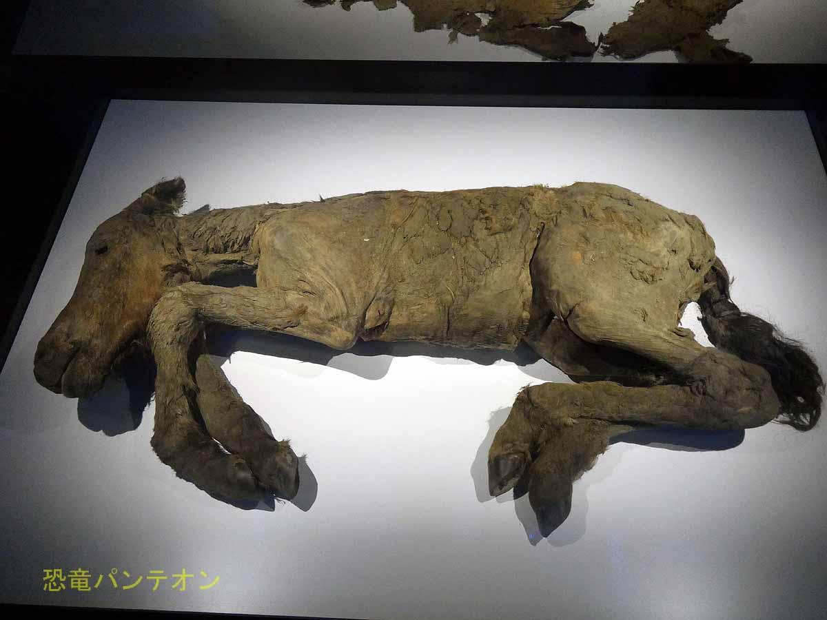 発掘された仔馬は、レナウマという種で、フジと名付けられている。
