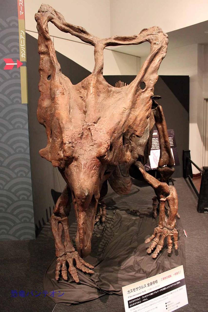 カスモサウルス Chasmosaurus 全身骨格