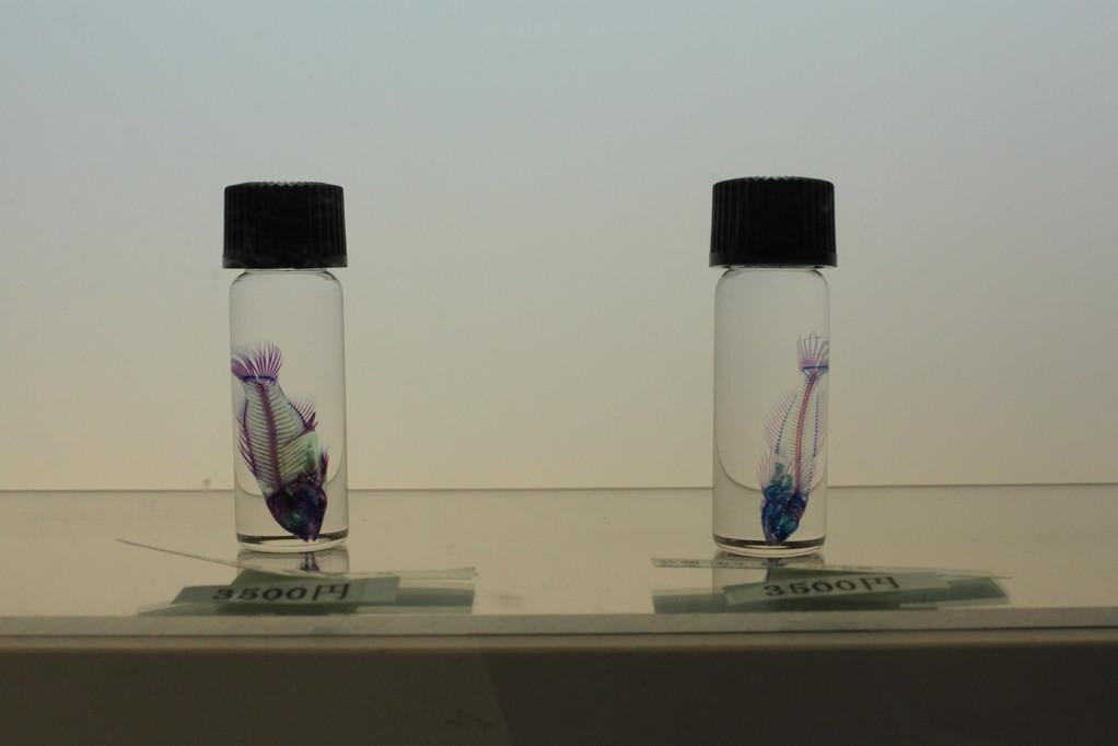 新世界「透明標本」