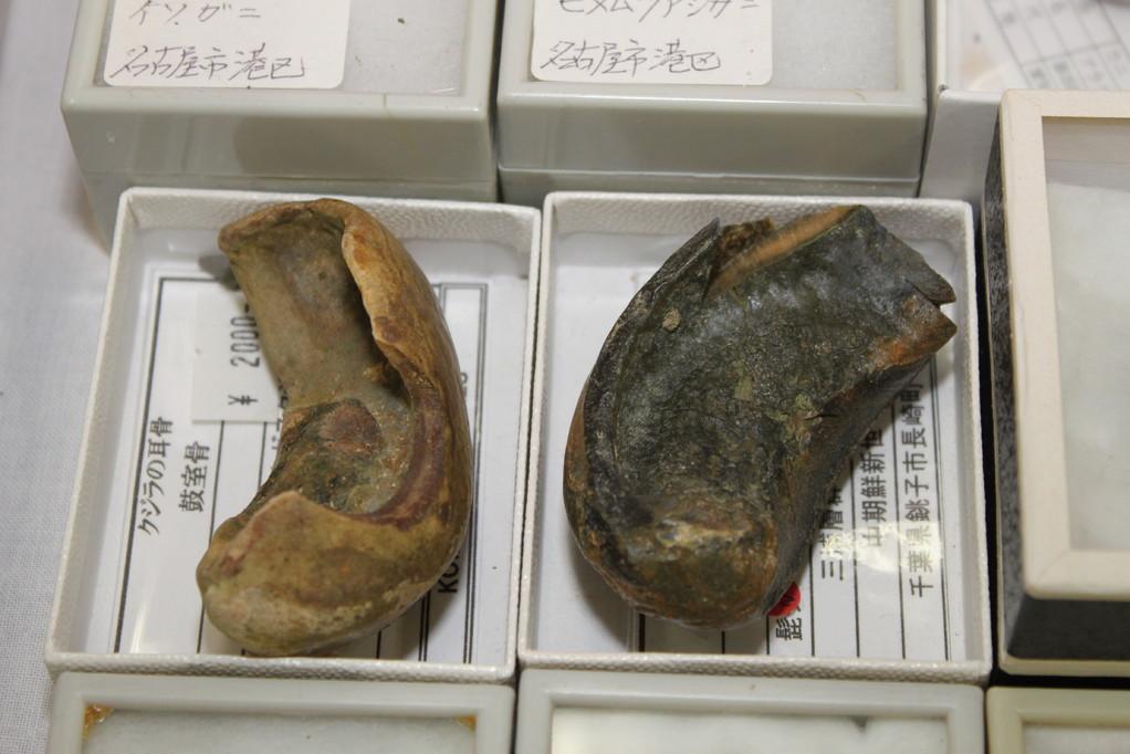 ドリームストーンコレクション クジラの耳骨