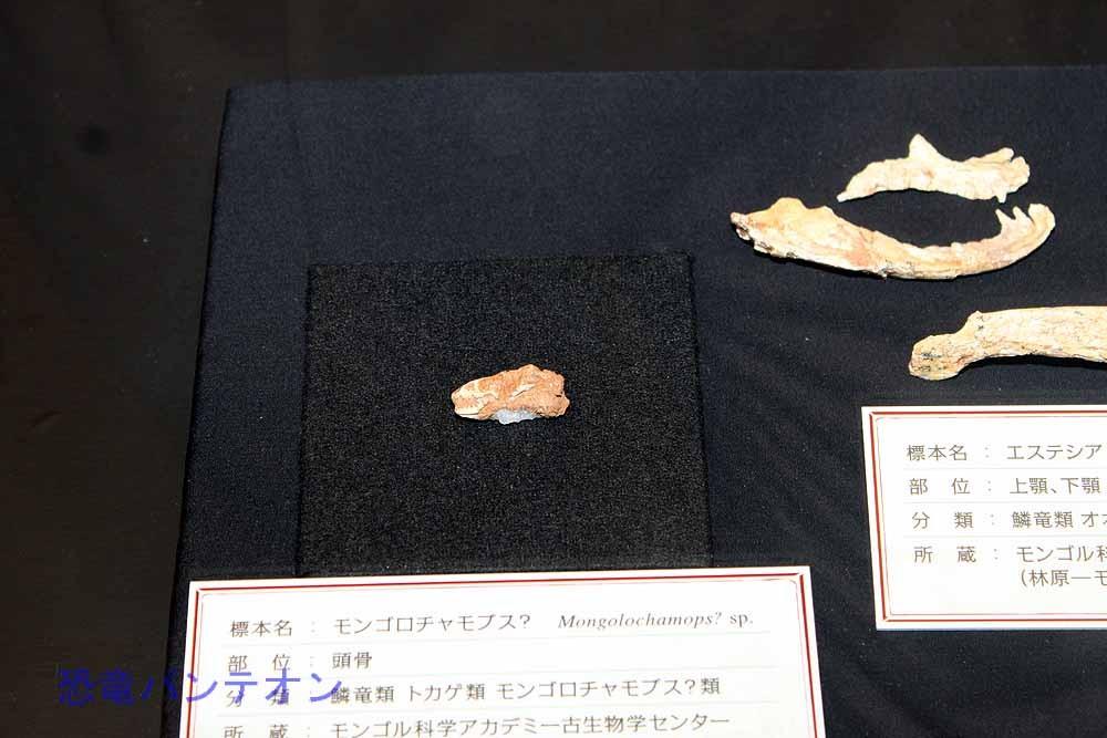 モンゴロチャモプス?(トカゲ類 実物化石)