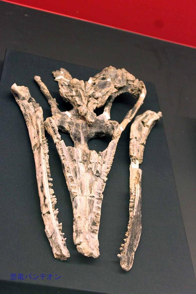 チョイリア(コリストデラ類 実物化石)