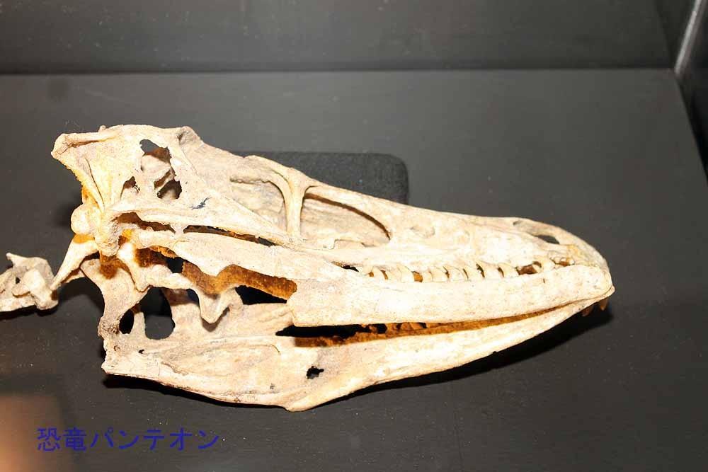 ヴェロキラプトル(実物化石)頭部