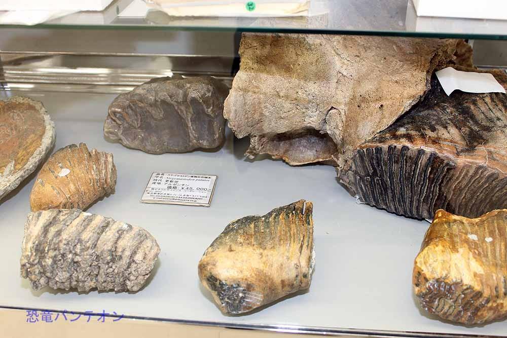 ステゴマストドン実物化石4万5千円ほか
