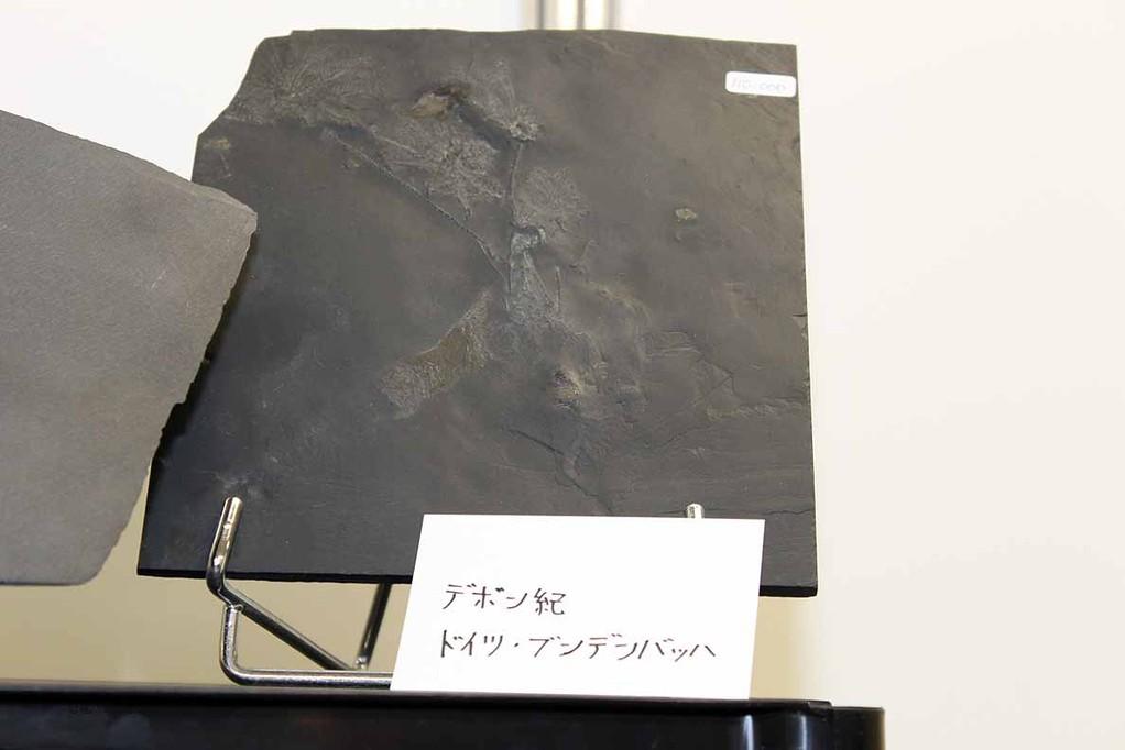 デボン紀 ドイツ ブンデンバッハの化石