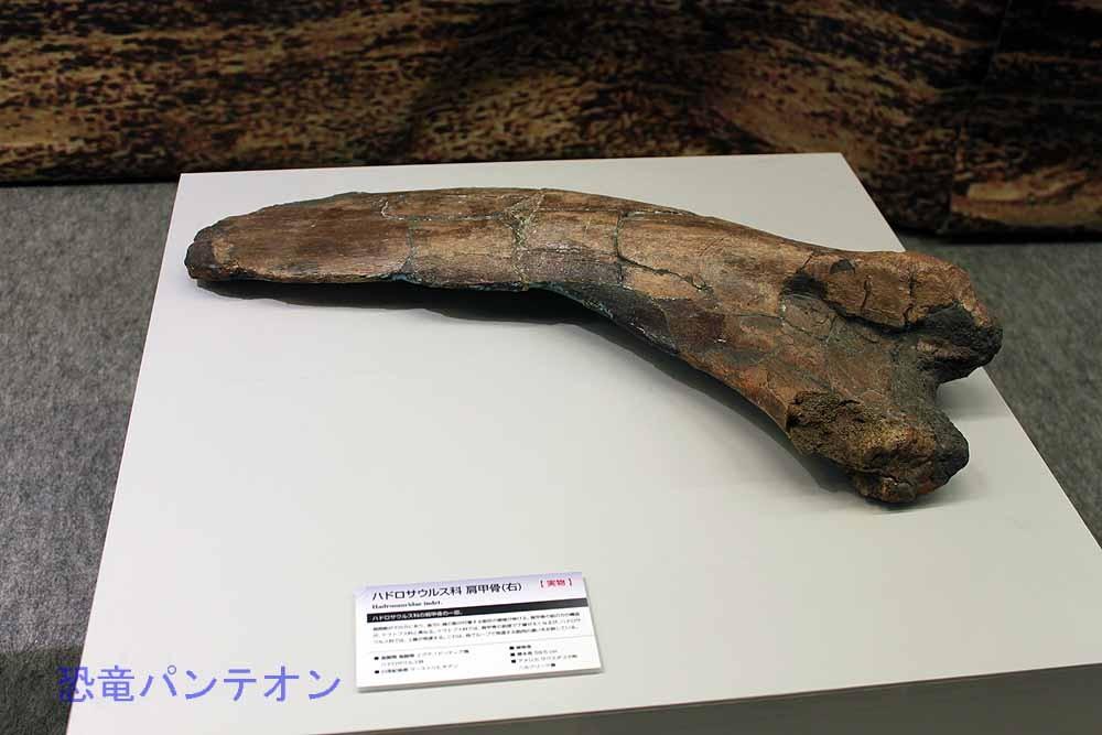 ハドロサウルス科肩甲骨