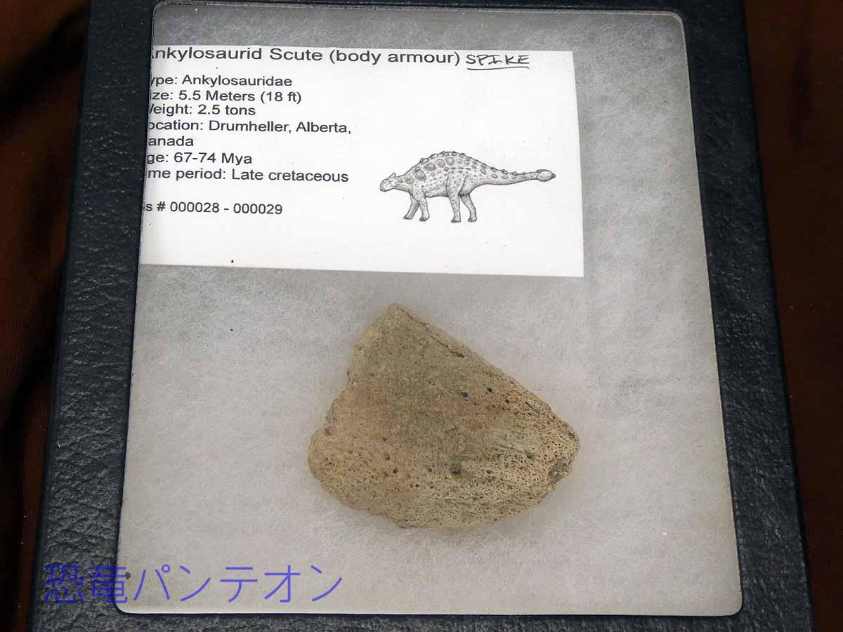 アルバータ州産、アンキロサウルス 科スパイク