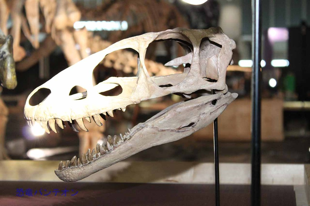 ラプトレックス頭骨