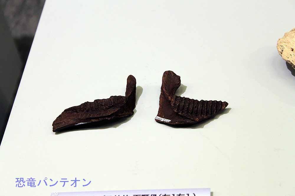 トリケラトプス幼体下顎骨