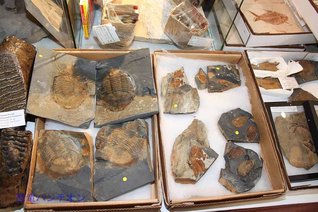Mijo-Fossils 三葉虫も
