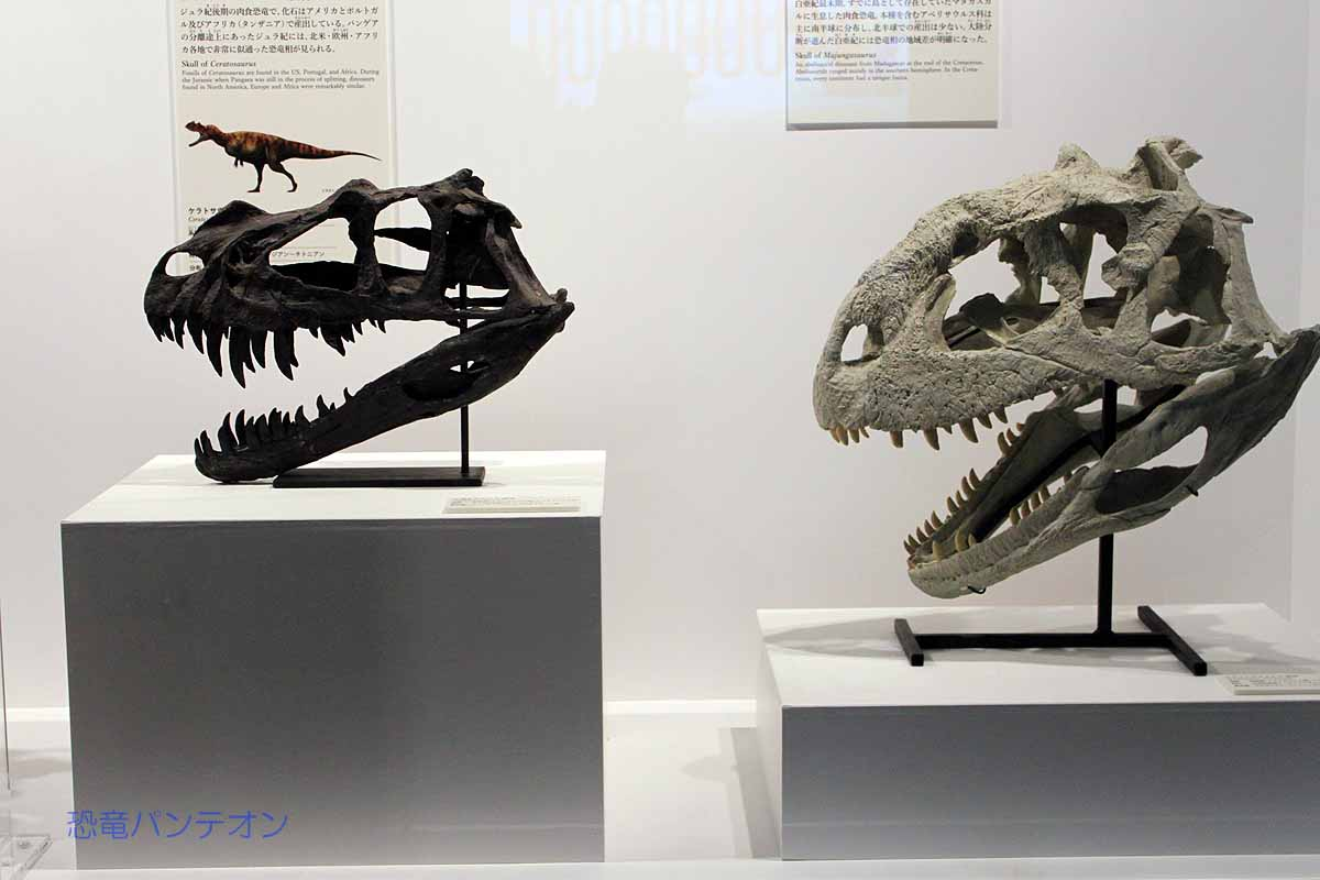 アロサウルス頭骨・マジュンガサウルス頭骨。アロサウルスはジュラ紀後期、マジュンガサウルスは白亜紀末ですが、マダガスカル産。