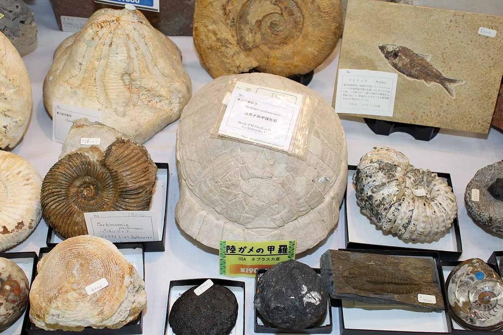 陸ガメの甲羅化石