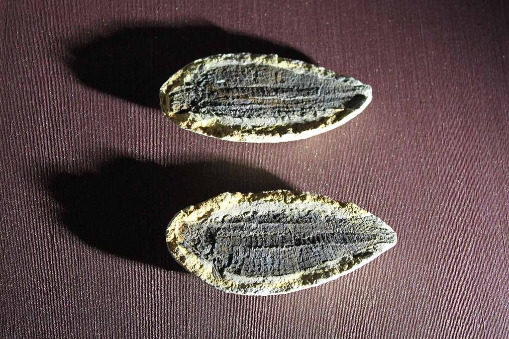条鰭魚類、アウストラロソムス