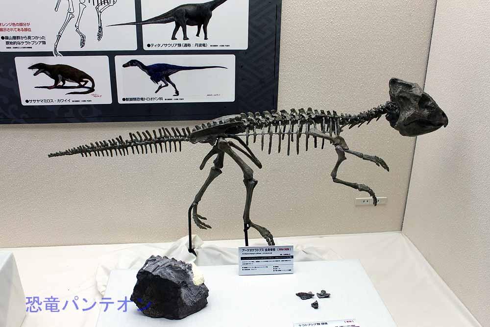 アーケオケラトプス 全身骨格