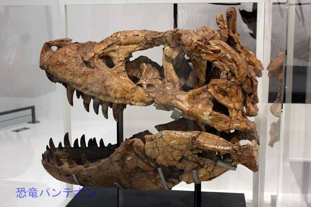 タルボサウルス最大個体(実物化石)