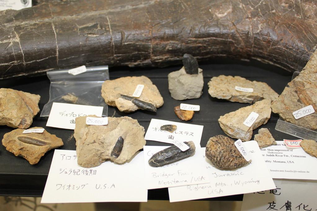 Krautworst Naturstein 坐骨の前には歯。ディプロドクス、アロサウルスほかいろいろです。