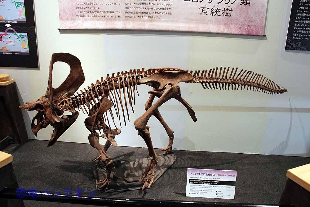 ズニケラトプス。ララミディア大陸おけるケラトプシア類の最古の化石記録になります。