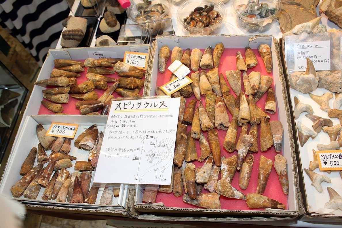 (有)ミュージアム インポート スピノサウルスの歯