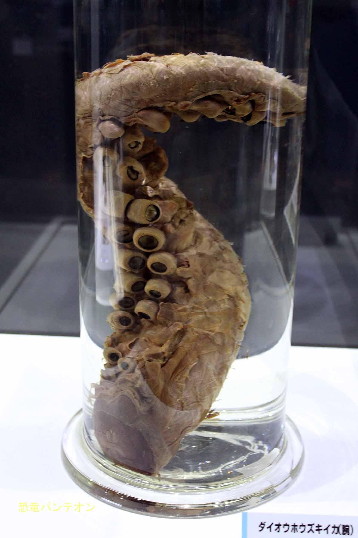 ダイオウホウズキイカ 大英自然史博物館標本