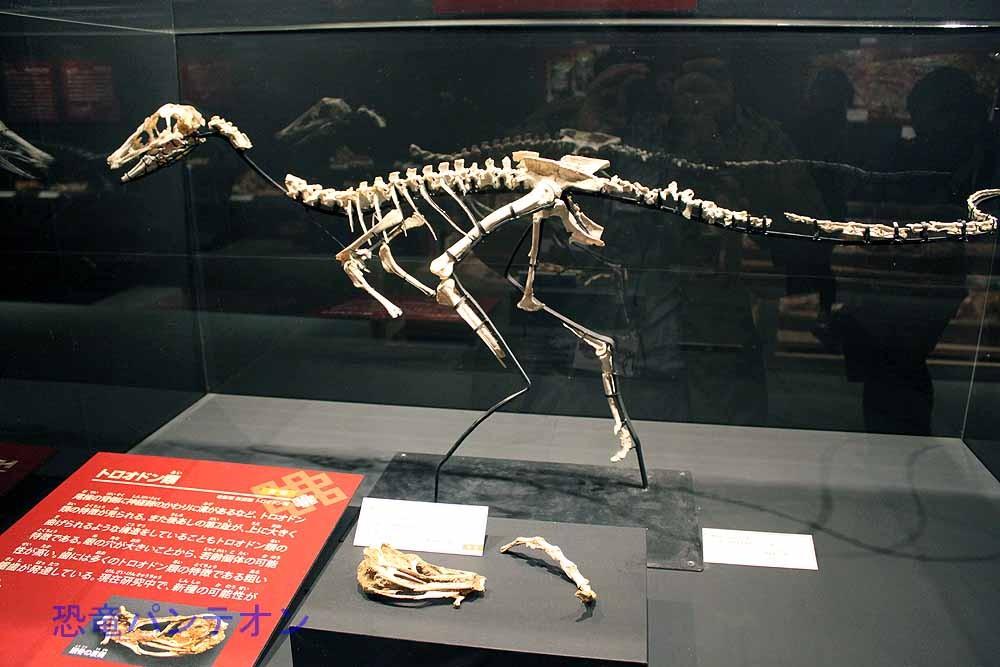 トロオドン類全身骨格(レプリカ)
