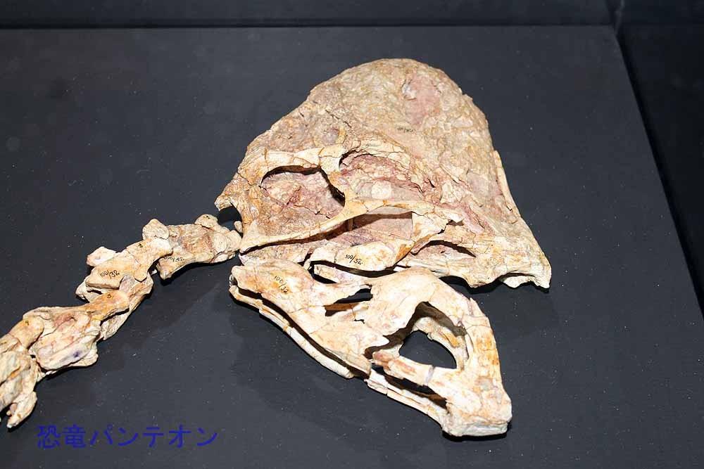 リンチェニア頭骨(実物化石)