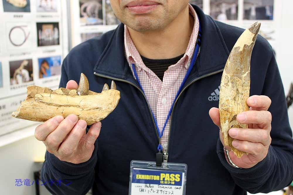 今回の目玉、タルボサウルス実物化石。下あごと歯です。