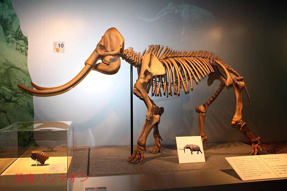 アケボノゾウ骨格