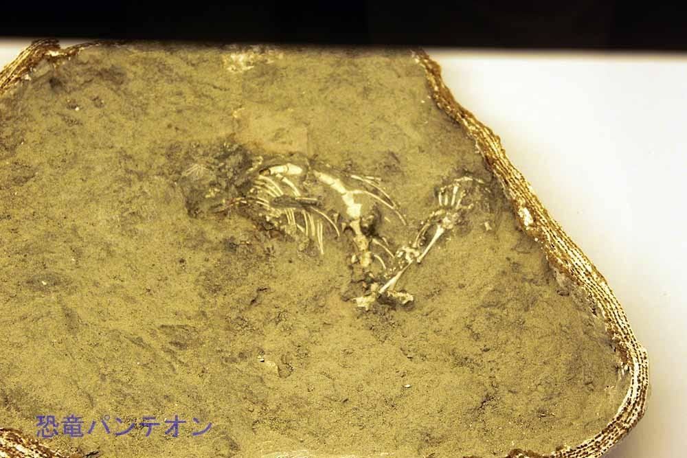 トカゲ類 胴椎・肋骨・左後肢(実物化石)