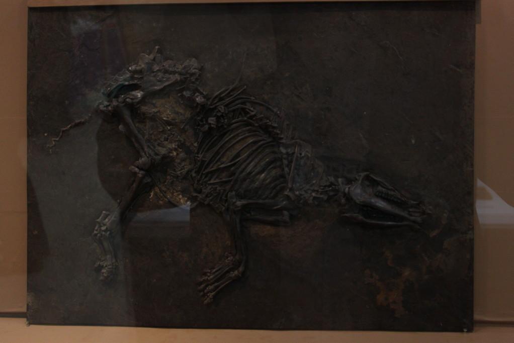 Propalaeotherium (奇蹄類/ウマの祖先) ずーっとメッセルの化石とレプリカが続きます。