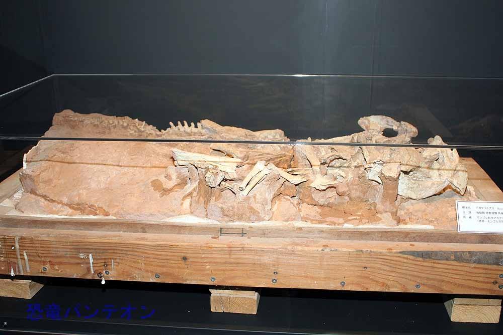 バガケラトプス全身骨格(実物化石)
