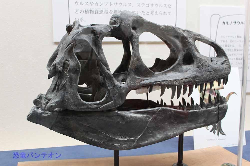 アロサウルス頭骨。アロ君は、ティラノより鳥に近い肉食恐竜の系統を解析する時に外群としてよく使われています。