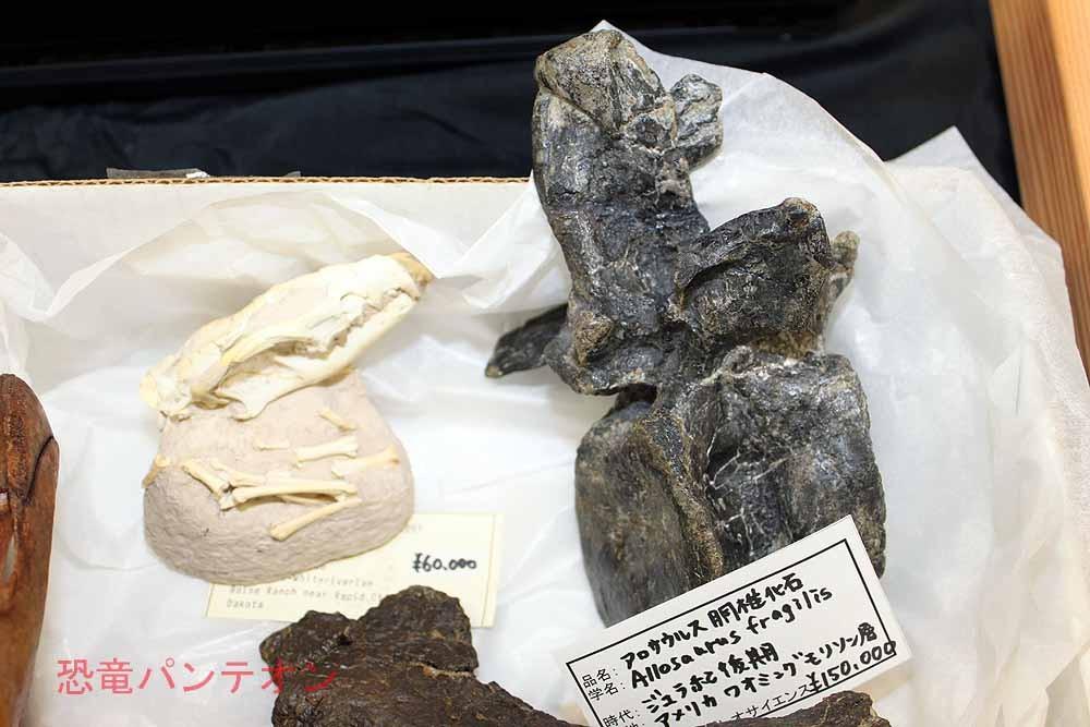 (株)パレオサイエンス アロサウルス胴椎 米、ワイオミング州モリソン層