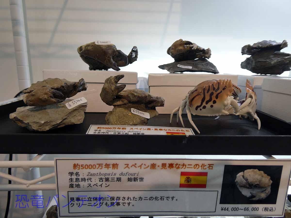 茹でたら食べられそう! 約5000万年前 スペイン産化石