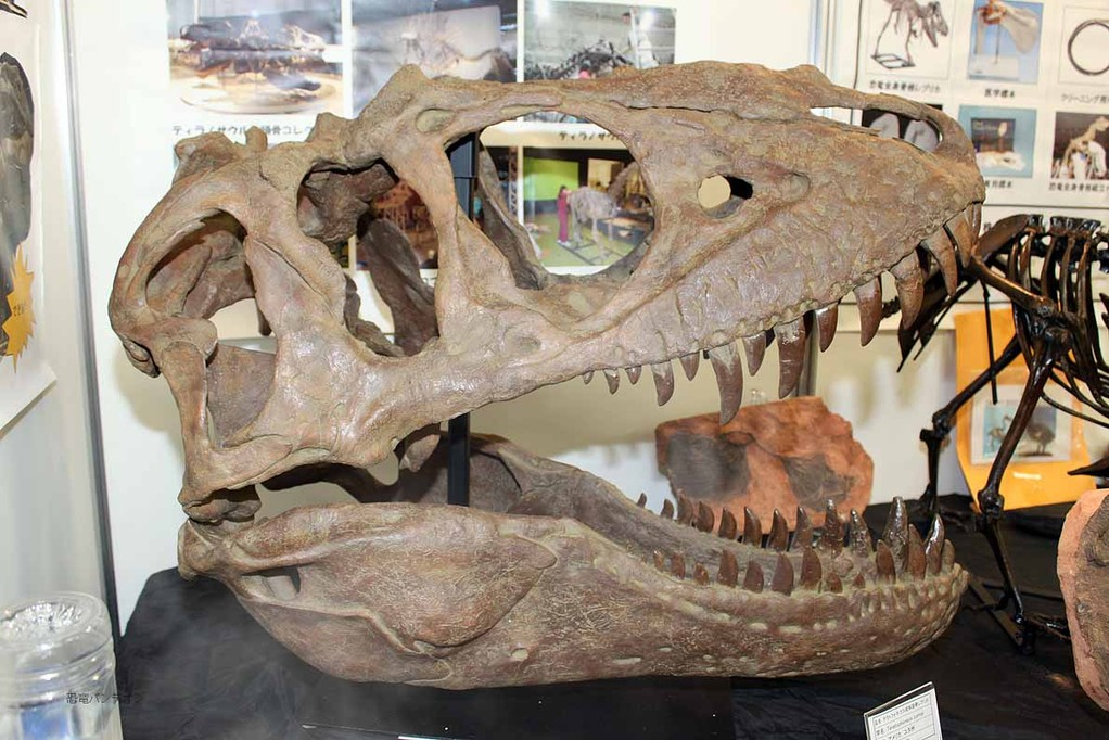 パレオサイエンス、今回の一押し、テラトフォネウス(ティラノ類 白亜紀後期 ユタ州)頭骨レプリカ。45万円