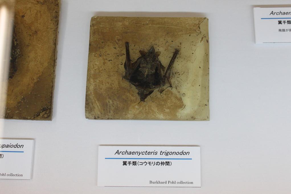 Archaehycteris trigonodon このコウモリ、細かい部分までよくわかります。