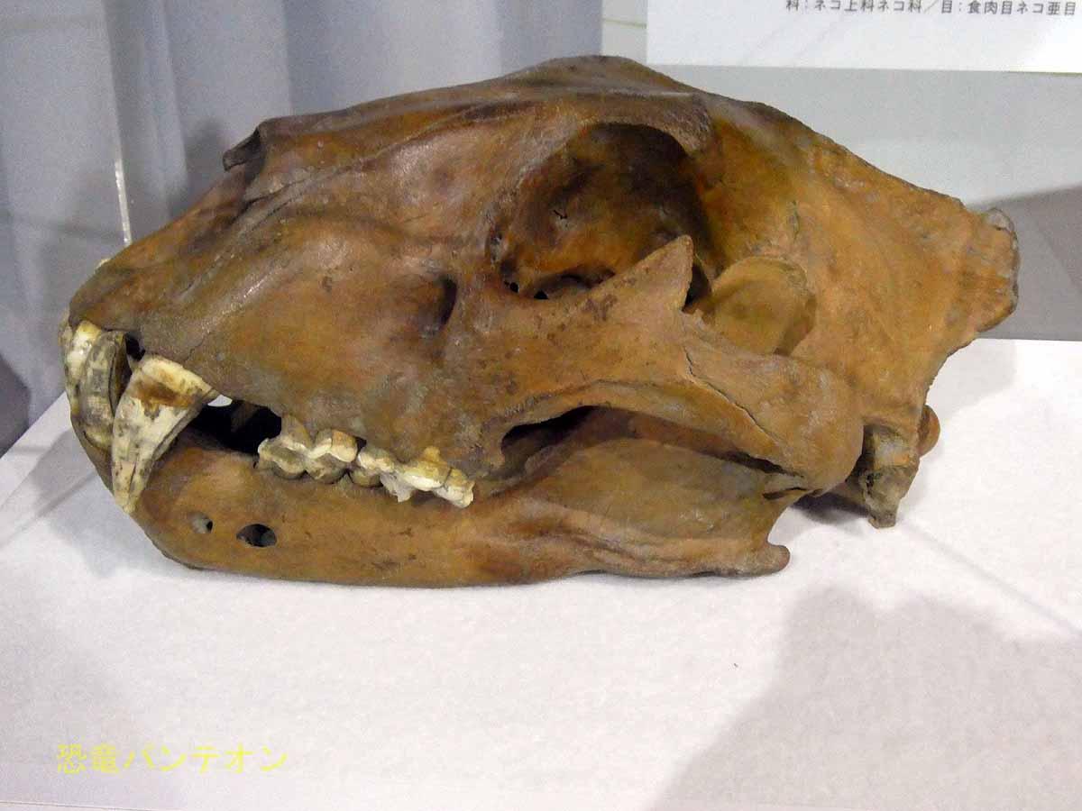ホラアナライオン頭骨と下顎骨