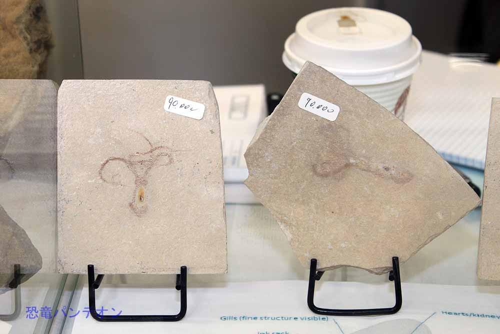 Zoic Srl でも、これは成体だそうです。タコの化石は非常に稀とのこと