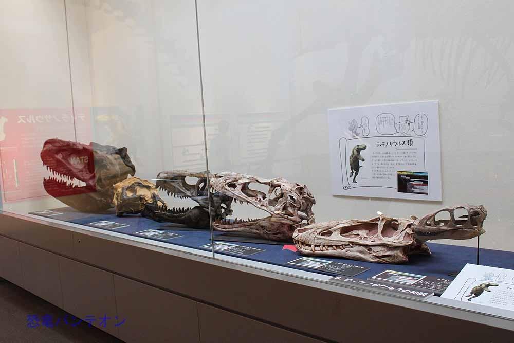 5.ティラノサウルスの仲間 ラプトレックスからタルボサウルスまで、アジアや北米のティラノサウルス類頭骨が並んでいます。