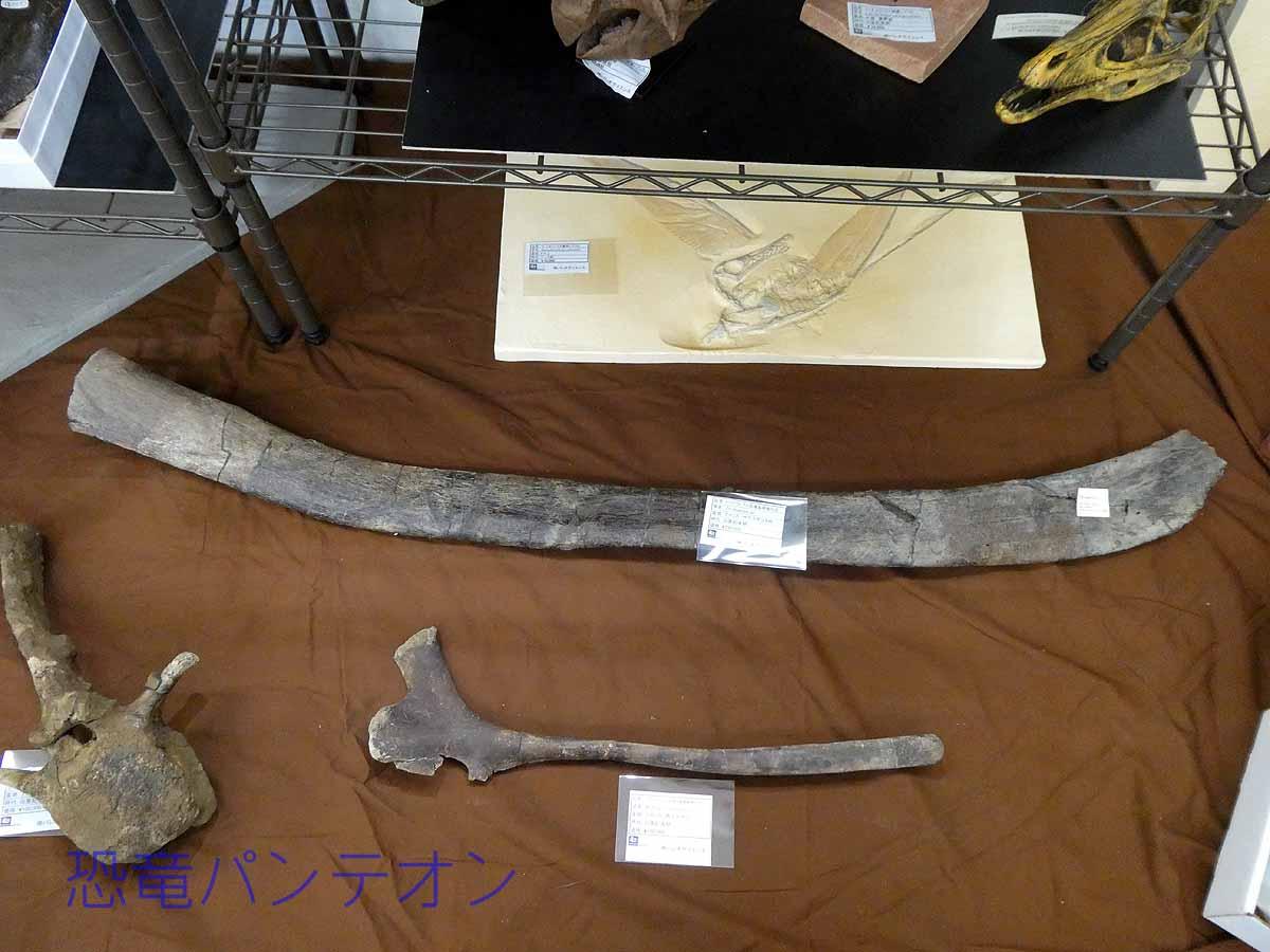 米、モンタナ州産トリケラトプス肋骨化石、大きい方はサウスダコタ州産トリケラトプス肋骨化石と西テキサス産クリトサウルス幼体坐骨、椎骨はモンタナ州産エドモントサウルス