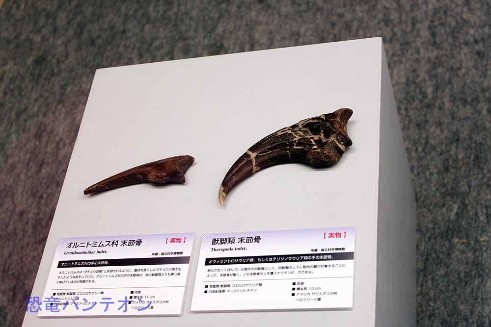 獣脚類末節骨とオルニトミムス科末節骨