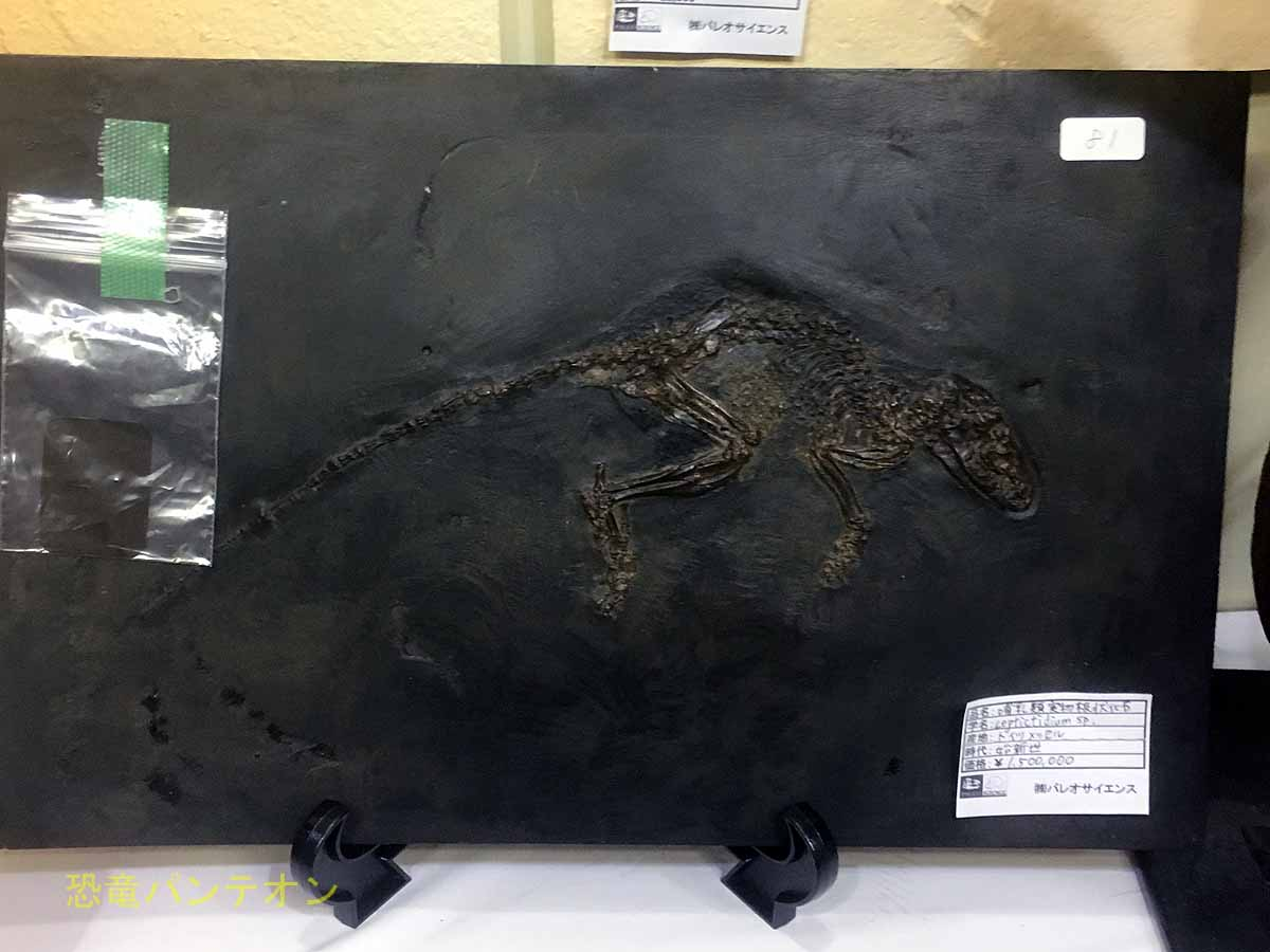 パレオサイエンス メッセルのの哺乳類 実骨ですよ!